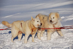 Two siberian huskies Stock Image