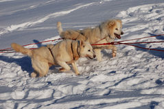 Two siberian huskies Royalty Free Stock Photo