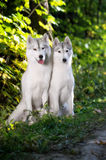 Two Siberian Huskies in autumn park Royalty Free Stock Images
