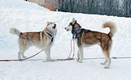 Two Siberian Huskies Stock Photos