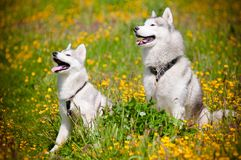 Two Siberian Huskies portrait outdoors Stock Image