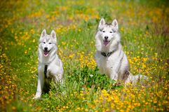 Two Siberian Huskies portrait outdoors Royalty Free Stock Photos