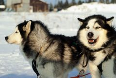 Portrait of a sled dogs royalty free stock photos
