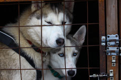Two Siberian husky in a cage. Stock Images