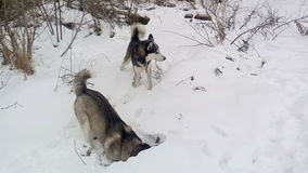 Two Siberian Husky digs a pit in search of mice. Two Siberian Husky on the walk. Siberian Husky digs a pit in search of mice stock video footage
