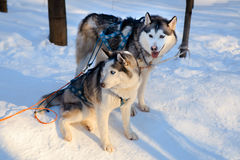 Two siberian Husky dogs black and white colour. Winter view. Royalty Free Stock Photo