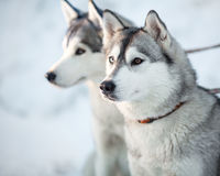 Two siberian husky dogs closeup Royalty Free Stock Photography