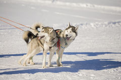 Two siberian husky dogs with harness Stock Photos