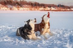 Two siberian husky dogs howls royalty free stock photography