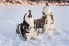 Two siberian husky dogs howls raising his muzzles up. Howling on winter sunset landscape stock images