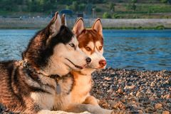 Two siberian husky dogs lie side by side on the shore. Portrait cute dogs on the summer beach background. stock photo