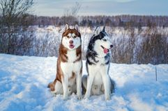 Two Siberian Husky dogs looks around. royalty free stock images