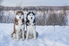 Two Siberian Husky dogs looks forward sitting on the snowy shore of a frozen river. Husky dogs black, brown and white coat color. stock photography
