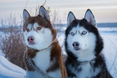 Two Siberian Husky dogs looks. Husky dogs black, brown and white coat color. Closeup. Winter sunset. royalty free stock image