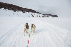 Two Siberian Husky dogs are pulling a sledgeon the frozen shore of the Okhotsk sea royalty free stock photos