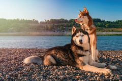 Two Siberian husky dogs sits on shore against background calm river in warm evening light. Copy space stock image