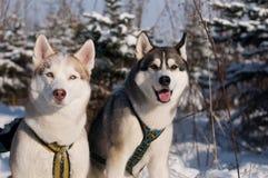 Two siberian husky Royalty Free Stock Image