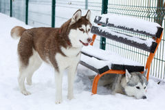 Two Siberian Husky, one hiding under the bench Stock Images