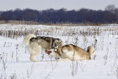 Two siberian husky play among themselves Stock Image