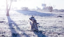 Two siberian husky playing outdoor in the field at cold sunny autumn morning. royalty free stock images