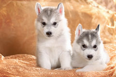 Two siberian husky puppies Royalty Free Stock Images