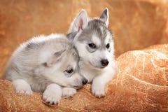 Two siberian husky puppies Stock Photo
