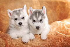 Two siberian husky puppies. On a gold background Royalty Free Stock Photo