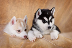 Two siberian husky puppies. On a gold background Stock Image