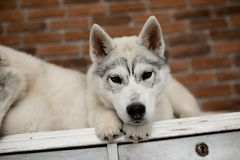 Two Siberian husky puppies at home sit and play. lifestyle with dog Royalty Free Stock Photo