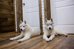Two Siberian husky puppies at home sit and play. lifestyle with dog.  Stock Image