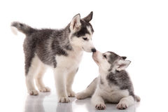 Two siberian husky puppies kissing on white background Stock Image