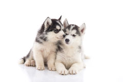 Two siberian husky puppies kissing on white background Stock Photography