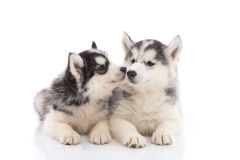 Two siberian husky puppies kissing on white background Royalty Free Stock Photos