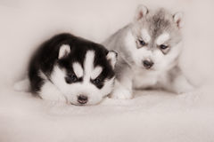 Two of siberian husky puppies Royalty Free Stock Image