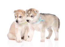 Two Siberian Husky puppies looking away. isolated on white Stock Images