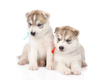 Two Siberian Husky puppies looking away. isolated on white Royalty Free Stock Photo