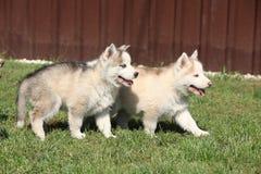 Two Siberian husky puppies Stock Photos