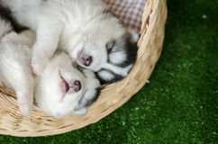 Two siberian husky puppies sleeping in a wicker bed Royalty Free Stock Images