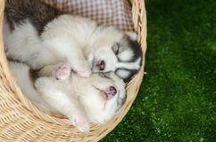 Two siberian husky puppies sleeping in a wicker bed Stock Photo