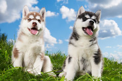 Two Siberian husky puppy dog on grass. Two little puppy of Siberian husky dog of one month isolated on green grass Stock Image