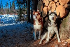 Two Siberian husky sitting next to the woodpile in the winter forest. Beautiful dogs look closely at the camera. royalty free stock photo