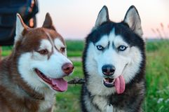 Two Siberian husky with stuck out tongue stock photography