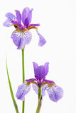Two siberian irises Stock Photography