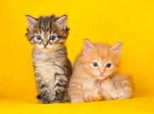 Two siberian kittens stock image