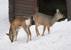 Two Siberian ROE deer on the snow. Two cute deer with chestnut hair stand on the white snow. Winter, Novosibirsk zoo - attraction of the capital of Siberia stock photo
