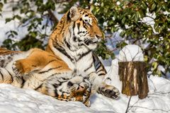 Two siberian tiger, Panthera tigris altaica, male and female cuddling, outdoors in the snow. Two siberian tigers, Panthera tigris altaica, male and female Royalty Free Stock Photos