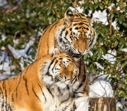 Two siberian tiger, Panthera tigris altaica, male and female cuddling, outdoors in the snow. Two siberian tigers, Panthera tigris altaica, male and female Royalty Free Stock Images