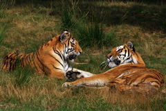 Two Siberian Tigers Royalty Free Stock Image