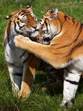 Two Siberian Tigers close together Stock Image