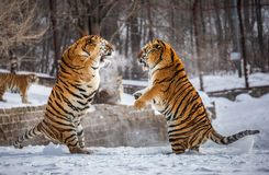 Two Siberian tigers are fighting each other in a snowy glade. China. Harbin. Mudanjiang province. Hengdaohezi park. Siberian Tiger Park. Winter. Hard frost stock photo